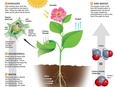 Infographic: Photosynthesis for Kids