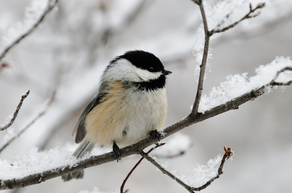 Although many birds of the temperate deciduous forest head south for the winter, black-capped chickadees stick around. How do they do it? They hide thousands of seeds under tree bark during the fall and eat them throughout the winter. (BGSmith/ Shutterstock)
