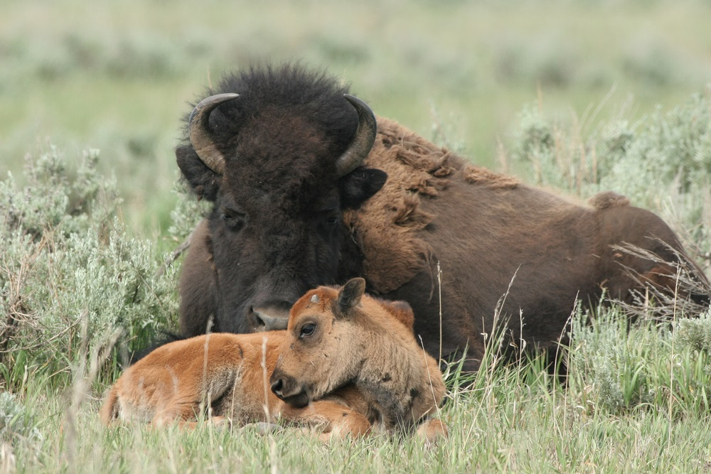 Before 1800, some 25 million bison roamed America's grasslands. But the bison were so heavily hunted that by 1900, there were only a few hundred left. With the help of conservationists, bison populations have bounced back a little. Today, a few thousand wild bison live in national parks like Yellowstone. (Martha Marks/ Shutterstock)