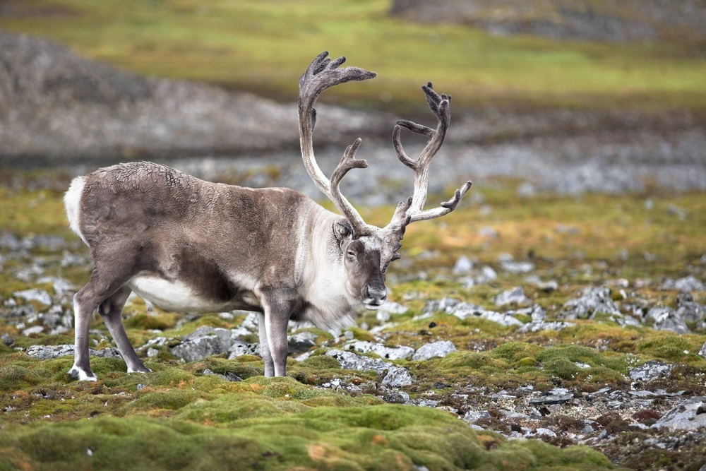 The tundra is a rocky landscape. Lichen—a combination of fungi and algae—grow on the rocks. Lichens are a favorite food of reindeer that migrate across the tundra in vast herds. During winter, these lichens are one of the only foods available and reindeer will dig through snow to find them. (Incredible Arctic/ Shutterstock)