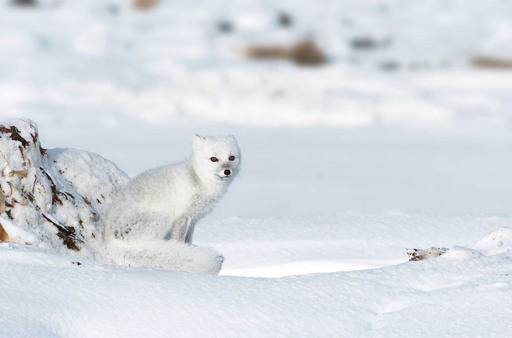 The arctic fox is well-adapted to life on the tundra. During loooooong arctic winters, it sports a thick, all-white coat for camouflage and warmth. And it often follows polar bears around, eating their leftovers. During summer, the arctic fox's coat turns brown, and it hunts for its favorite food—lemmings, which are small, furry, short-tailed rodents that also make their home in the tundra. (AdStock RF/ Shutterstock)