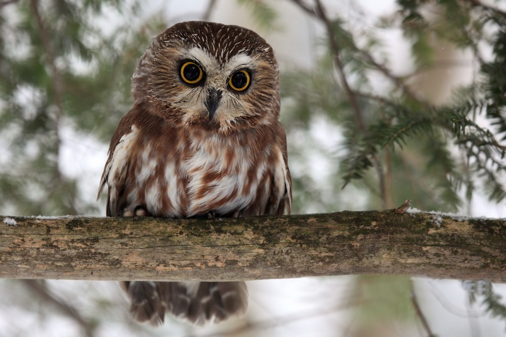 Tiny but fierce, the seven-inch-high saw-whet owl flies north to the taiga every spring to mate and lay eggs. About half of all North American bird species nest and raise their chicks in the taiga. (Mlorenz/ Shutterstock)